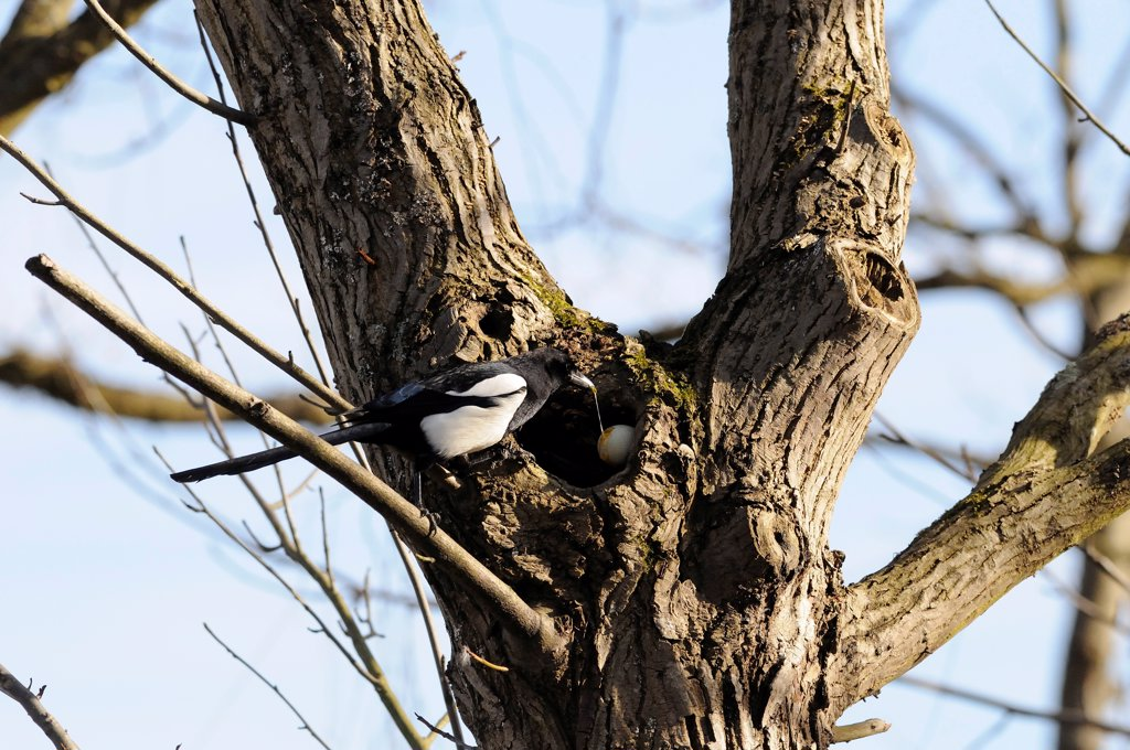 Stock Photo: 4413-76818 Magpie on a trunk eating a duck egg stolen in a nest France