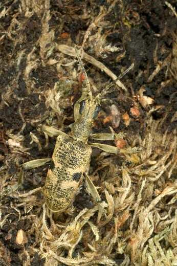 Stock Photo: 4413-7807 Longhorn beetle on the ground Morvan Regional Natural Park