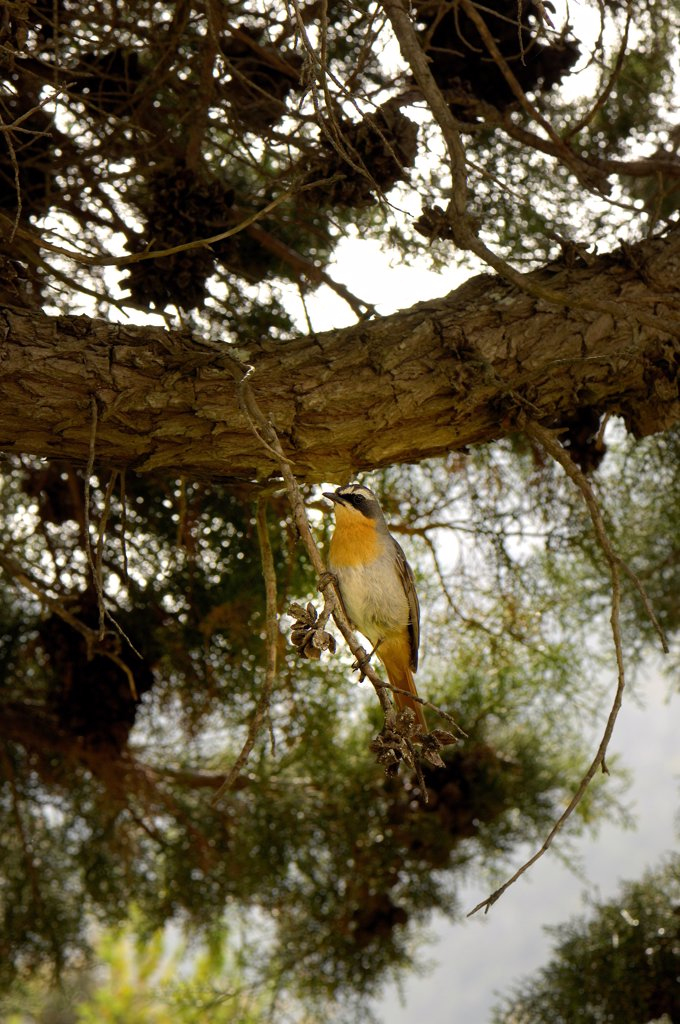 Stock Photo: 4413-78342 White-throated Robin-chat on a branch South Africa