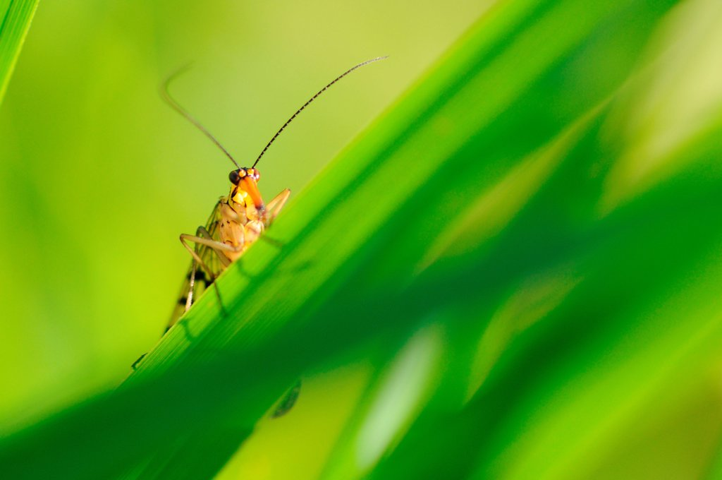 Stock Photo: 4413-78726 Common Scorpion Fly resting on a blade of grass Normandie