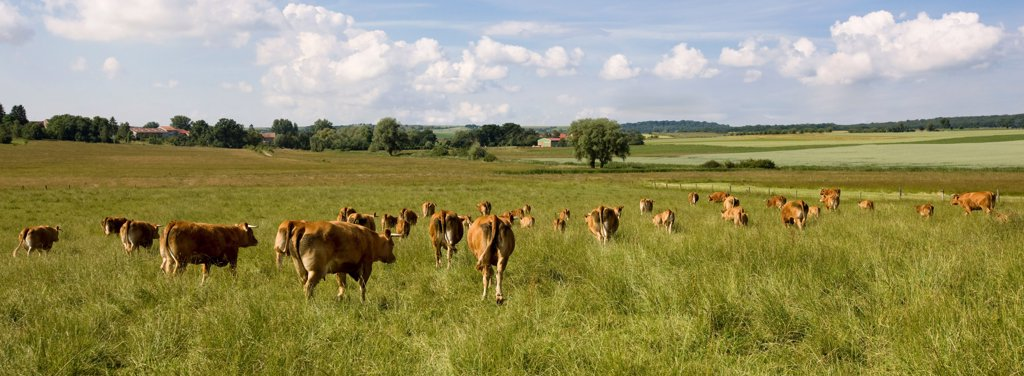 Herd of Cows pre Limousines France : Stock Photo