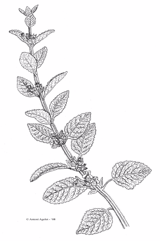 Stock Photo: 4413-80414 Drawing of a Common Balm stem in bloom with Indian ink