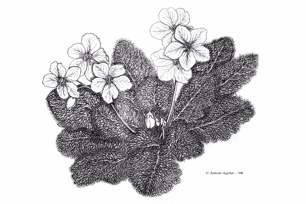 Drawing of a Pyrenean Violet in bloom with Indian ink : Stock Photo