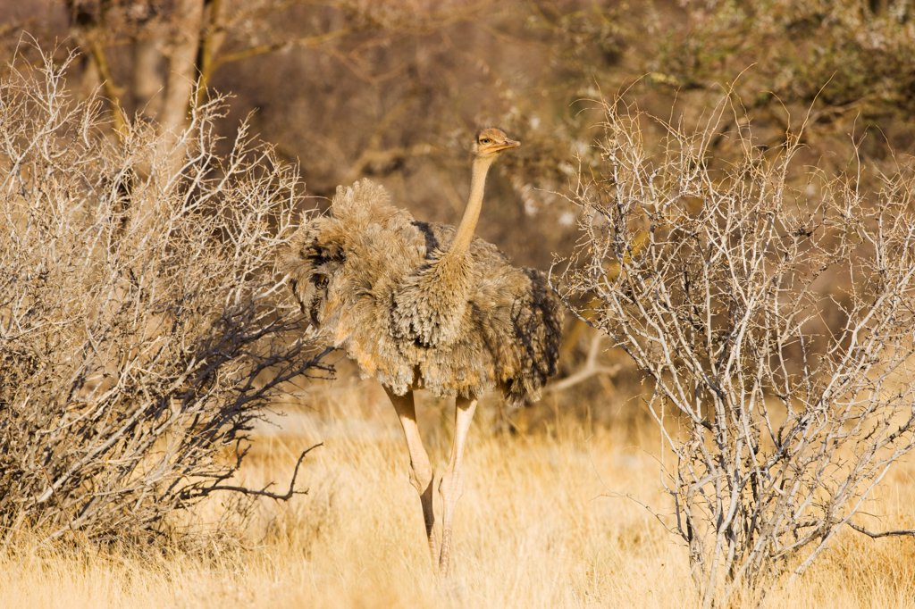 Stock Photo: 4413-80516 Young Somali ostrich in bush savannah Samburu Kenya