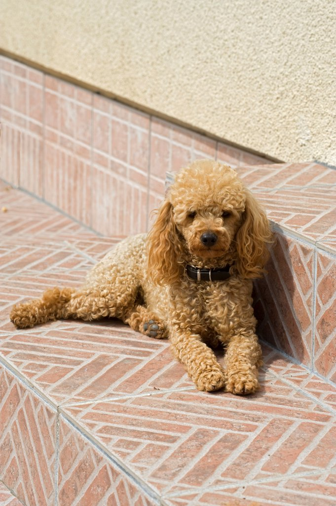 Stock Photo: 4413-81000 Miniature poodle on a garden terrace