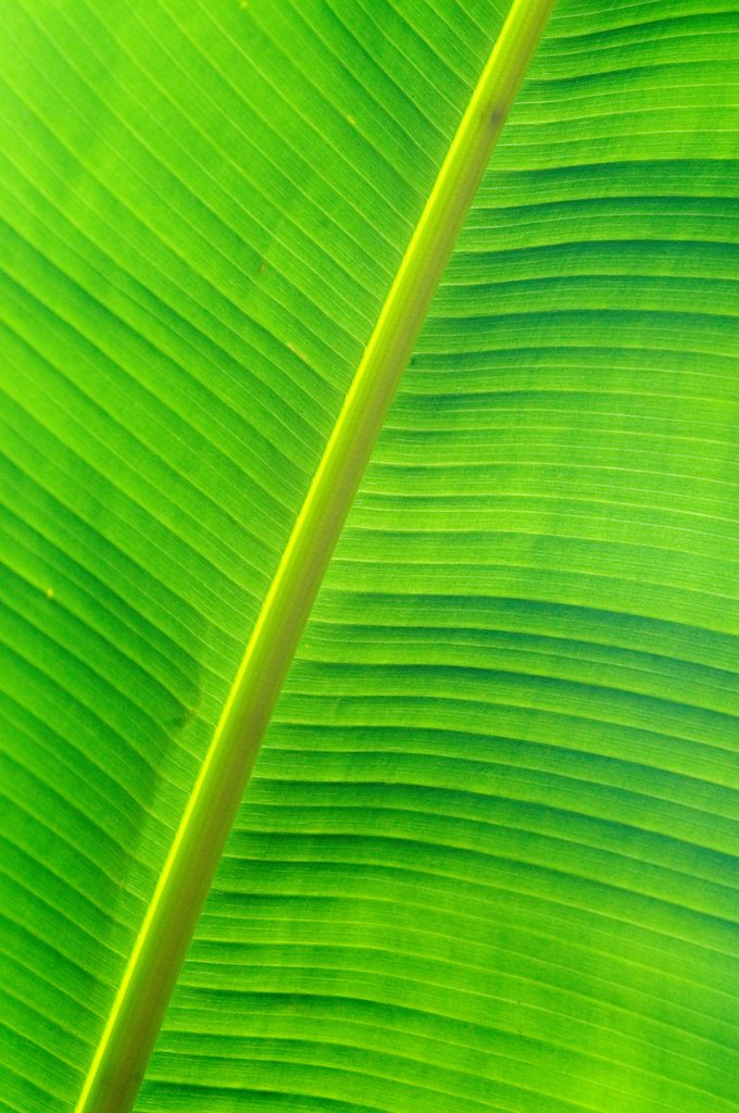 Stock Photo: 4413-8224 Detail of sheet of Banana tree France