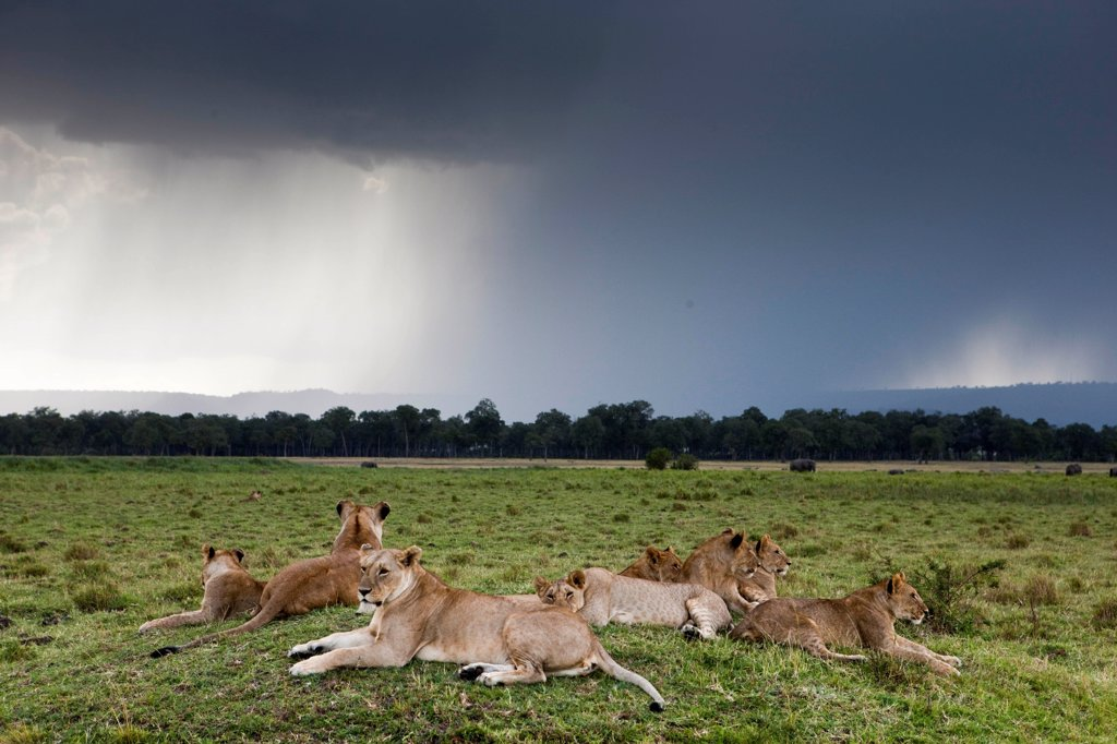 Stock Photo: 4413-83383 Lioness resting in the savannah and storm Kenya Masai Mara