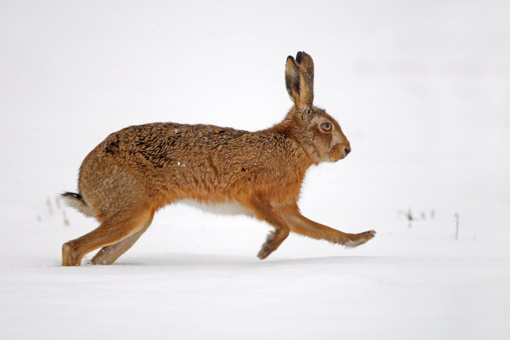 Stock Photo: 4413-83633 European hare running in snow Great Britain