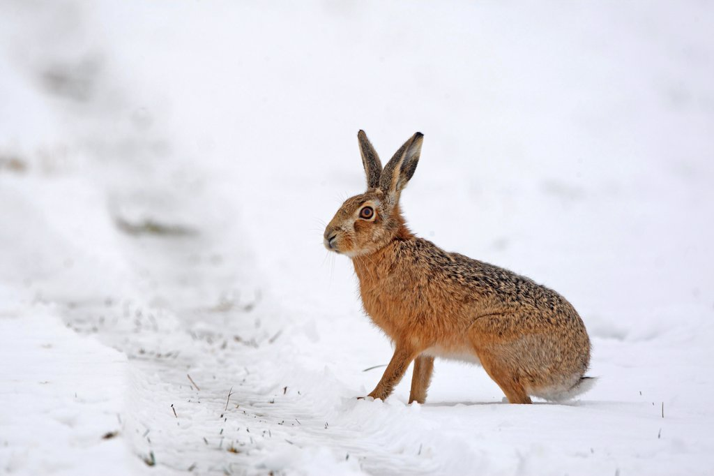 European hare in a meadow covered with snow Great Britain : Stock Photo