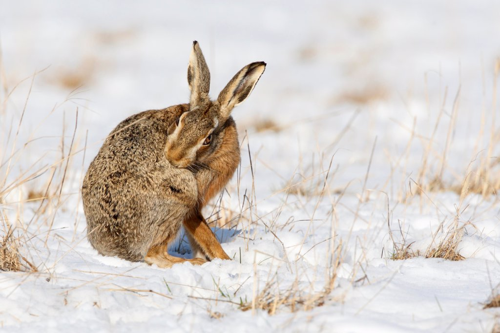 Stock Photo: 4413-83673 European hare in snow cleaning itself Great Britain