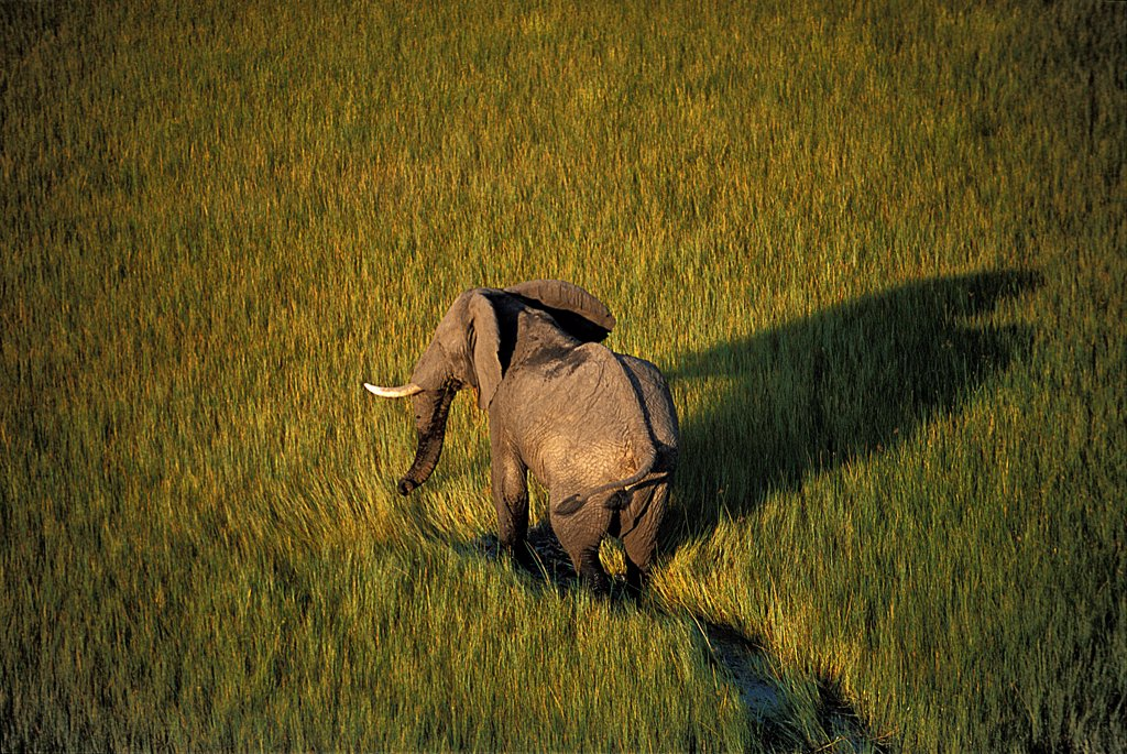 African elephant walking in swamps Botswana : Stock Photo