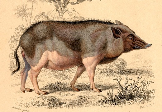 Stock Photo: 4413-83889 Drawing board showing a Wild female sow