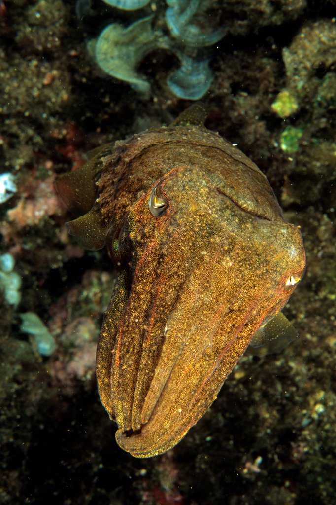 Common cuttlefish Mediterranean Sea France : Stock Photo