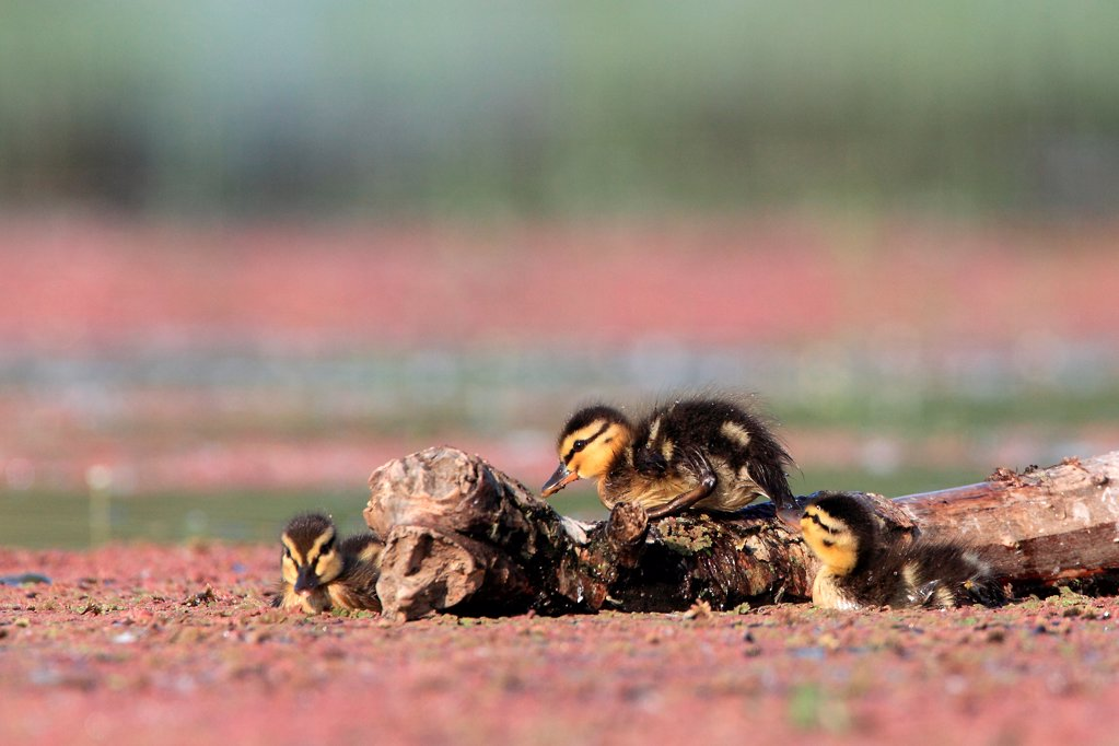 Gadwall chicks Kerkini lake Greece : Stock Photo