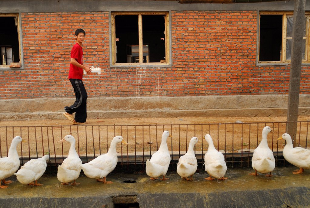 Stock Photo: 4413-8521 Collecting of eggs of a breeding of ducks China