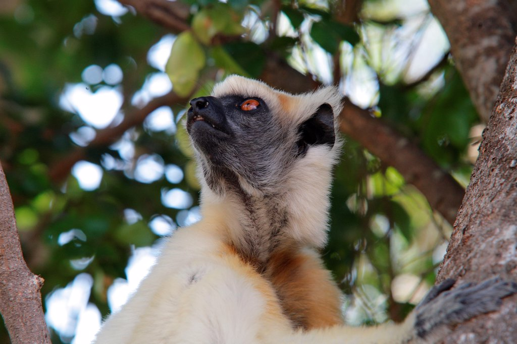 Portrait of a Golden-crowned Sifaka Madagascar : Stock Photo