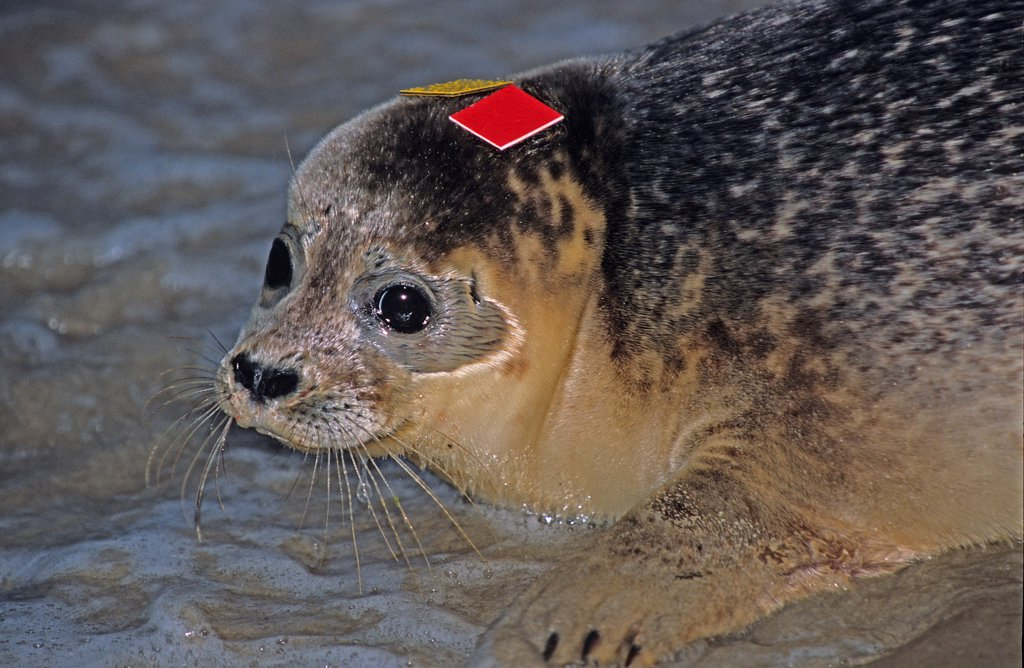 Stock Photo: 4413-86729 Release of Harbour Seal with coloured tags Somme bay