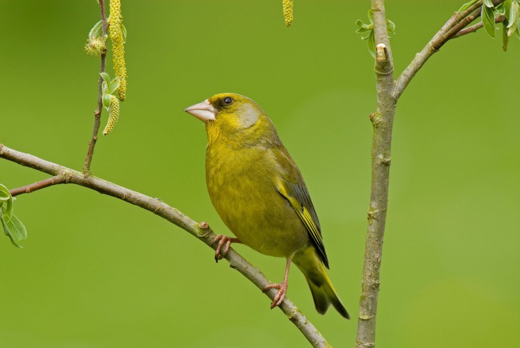 Stock Photo: 4413-87374 European Greenfinch male Somme bay France