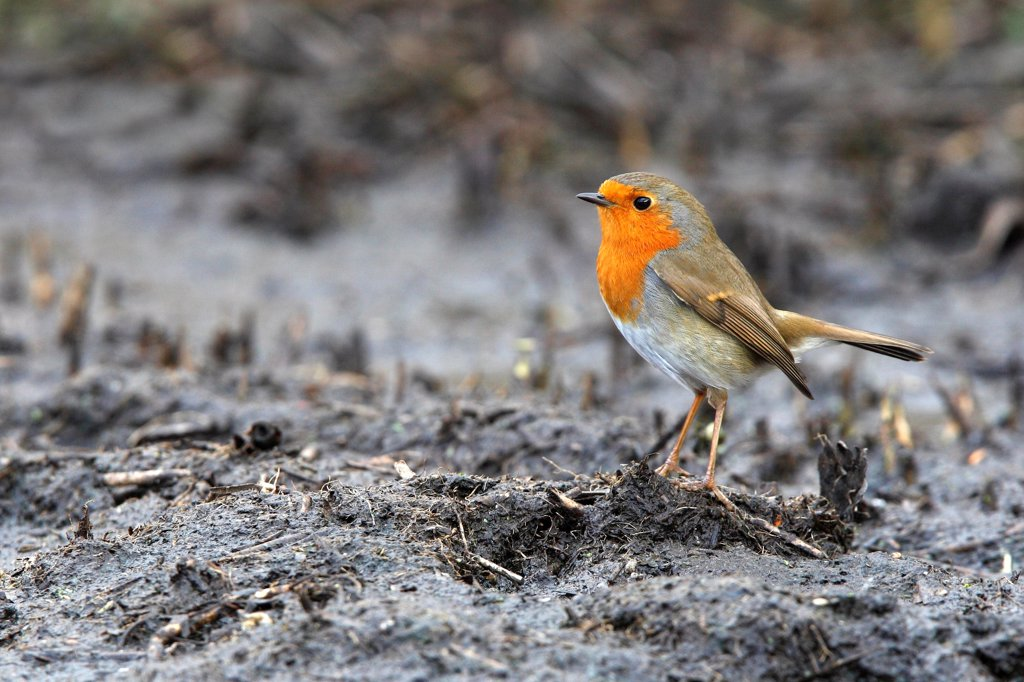 Robin standing on a muddy ground Great Britain : Stock Photo