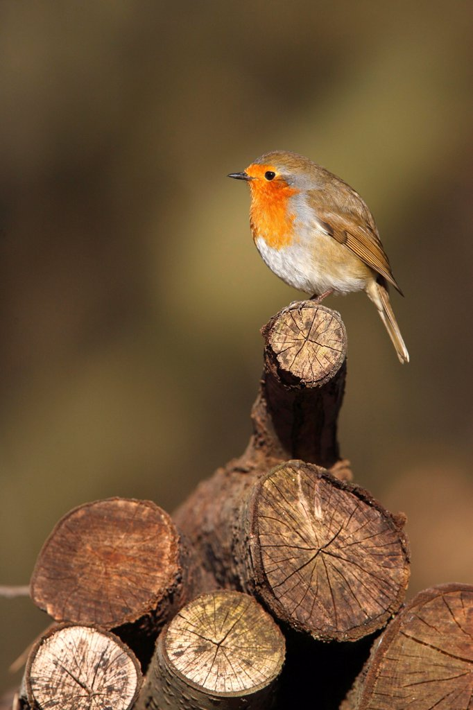 Robin standing on a stack firewood Great Britain : Stock Photo