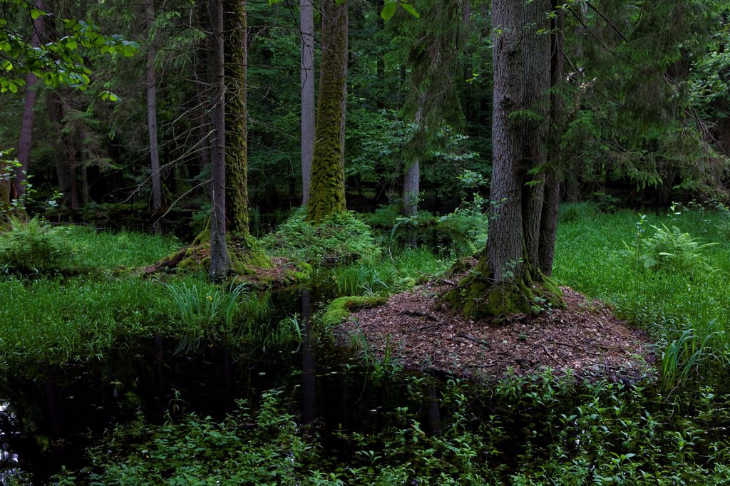 Virgin forest National Park Bialowieza Poland : Stock Photo