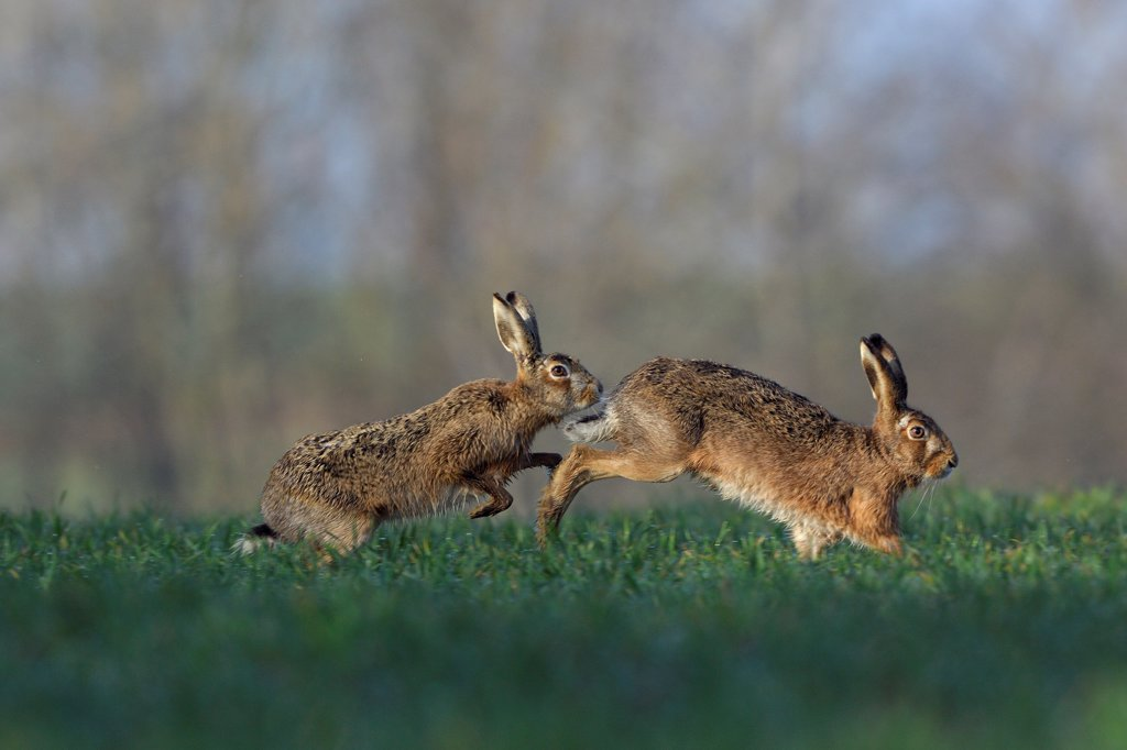 European Hares running in a meadow Vosges France : Stock Photo