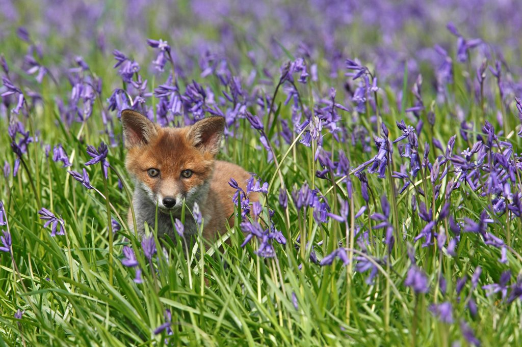 Young Red fox amongst bluebells spring Great Britain : Stock Photo