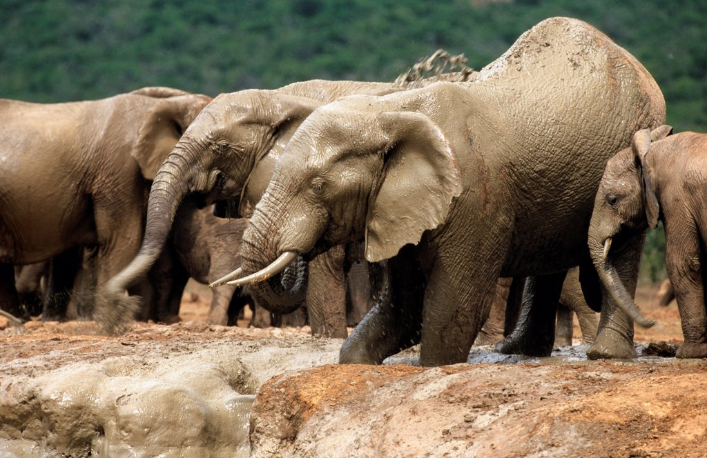 Stock Photo: 4413-90321 African elephants at the watering Addo South Africa