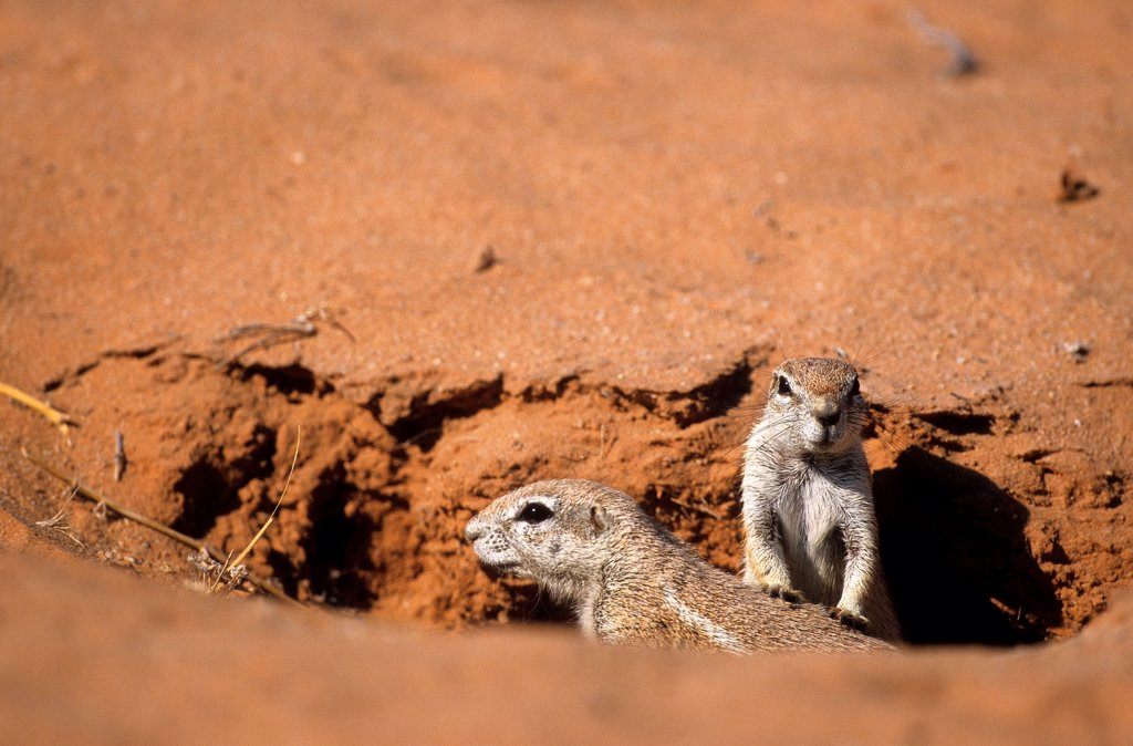 Stock Photo: 4413-90414 Cape ground squirrel out of burrow Kgalagadi South Africa