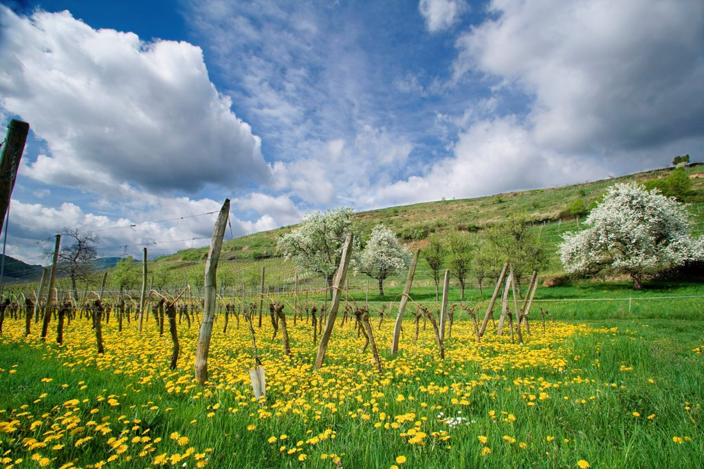 Strangenberg vineyards Westhalten Alsace France : Stock Photo