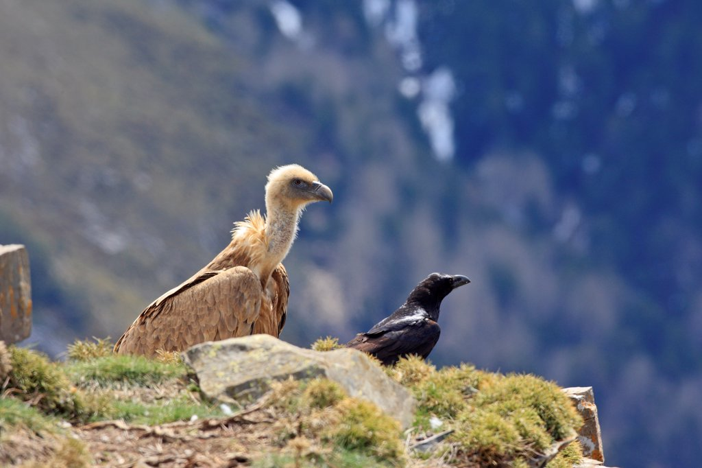 Griffon Vulture and Raven ground Pyrenees : Stock Photo
