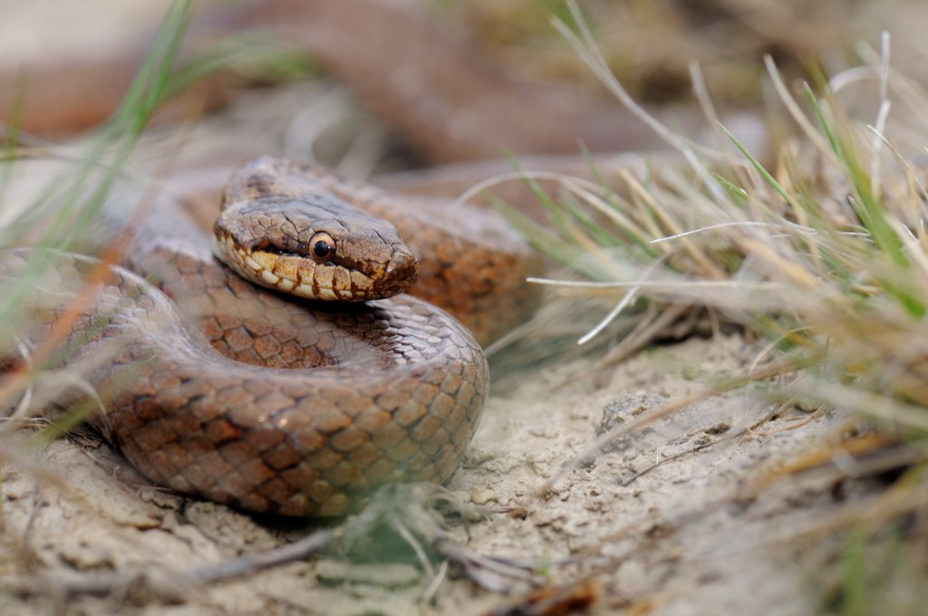 Smooth Snake on the lookout France : Stock Photo