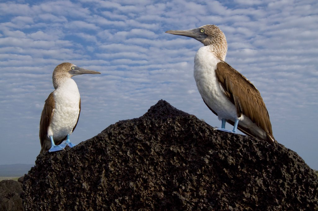 Stock Photo: 4413-92150 Blue-footed Booby on a rock Isabella Galapagos