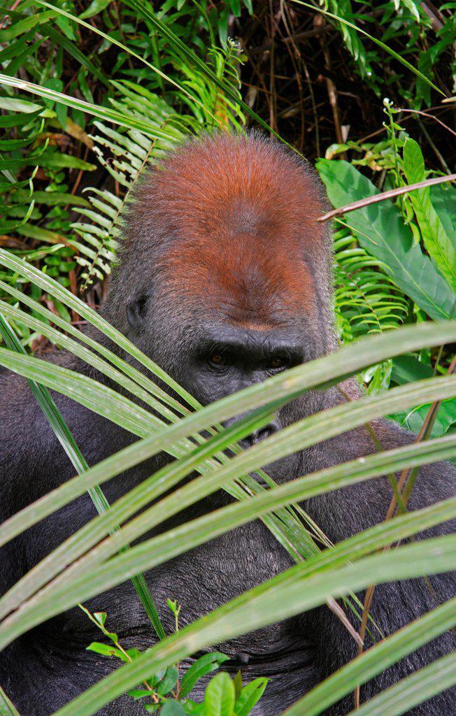 Stock Photo: 4413-92706 Western Lowland Gorilla Silverback Loango NPGabon