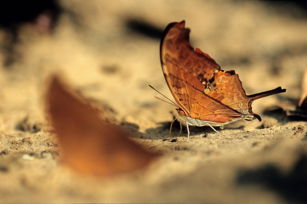 Stock Photo: 4413-9377 Ruddy Daggerwing drinking on the ground Brazil