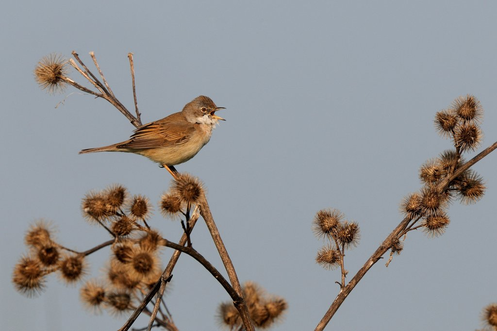 Stock Photo: 4413-94224 Song of Common Whitethroat on a thistle dry near the nest