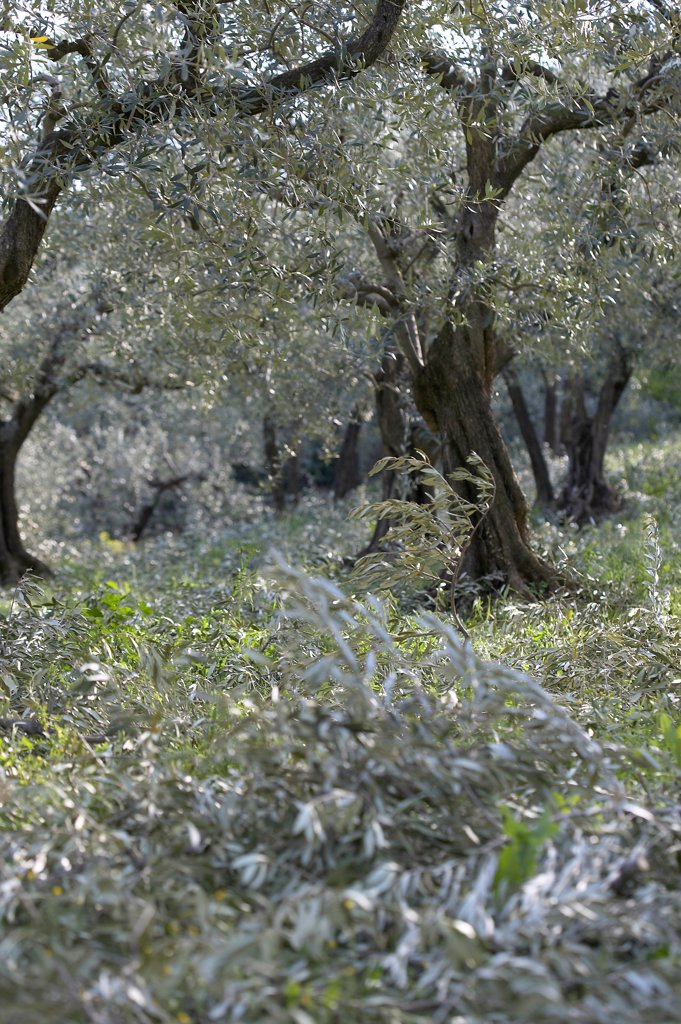 Stock Photo: 4413-9430 Cut olive-trees Nyons Provence France