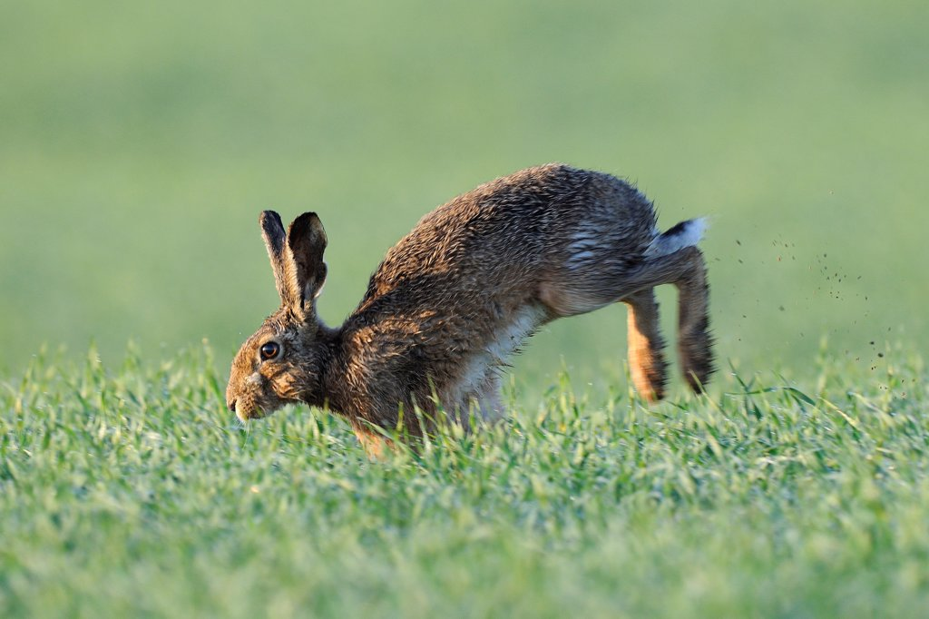 Stock Photo: 4413-94301 European Hare running in a field and dew France