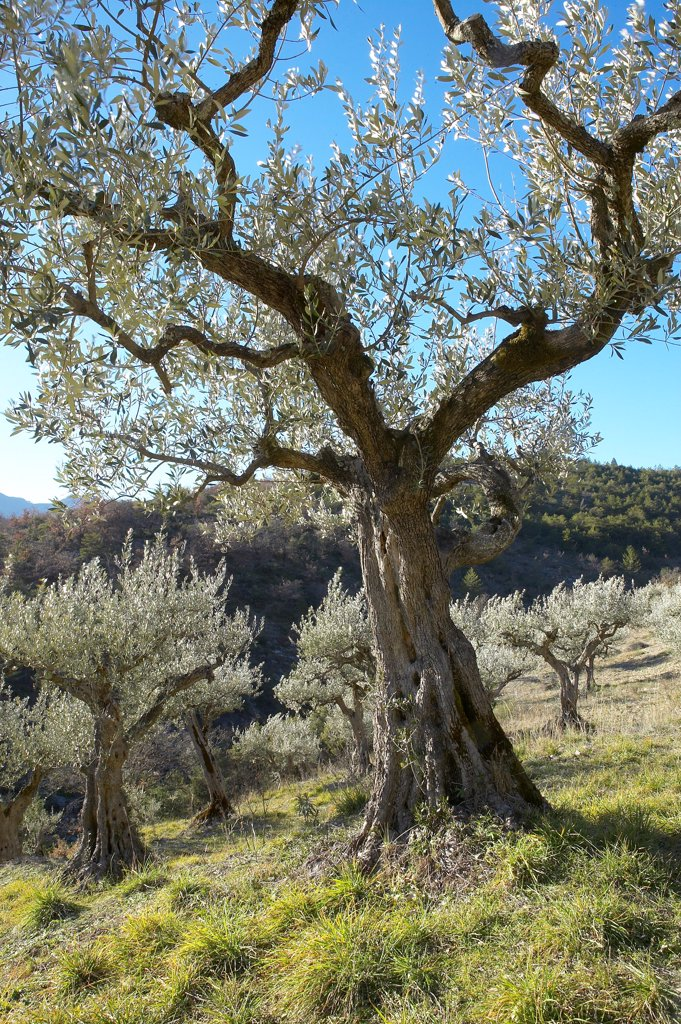 Old olive-trees not having undergone the freezing of 1956 Provence : Stock Photo