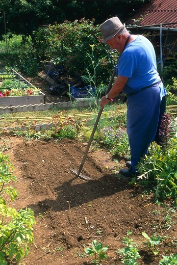 Sowing of beets 'Globe 2' in a kitchen garden : Stock Photo