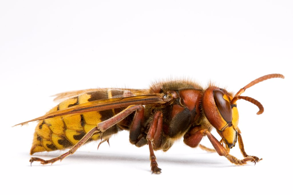 European hornet in studio : Stock Photo