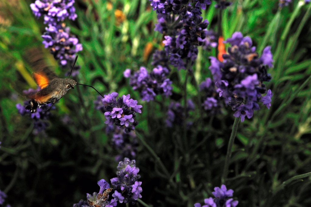 Stock Photo: 4413-99674 Olive Bee Hawk-moth pollinating a lavender flower France