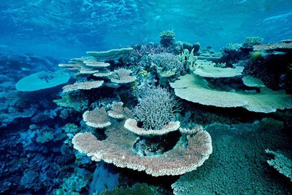 Australia, Hard corals in Great Barrier reef : Stock Photo