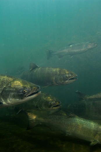 Stock Photo: 4414-1147 USA, Oregon, Chinook or King Salmon (Oncorhynchus tshawytscha) swimming in Rogue River