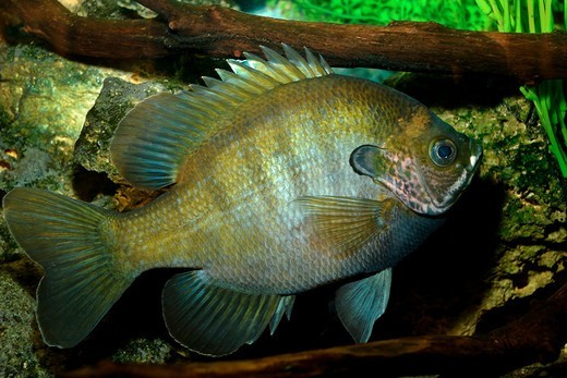 Stock Photo: 4414-1187 USA, Florida, Close-up of Bluegill (Lepomis macrochirus)