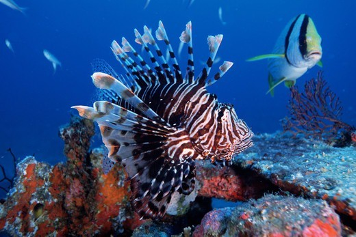 Stock Photo: 4414-1262 USA, Florida, Common lionfish (Pterois volitans)