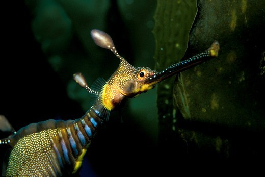 Stock Photo: 4414-1271 Weedy sea dragon (Phyllopteryx taeniolatus)