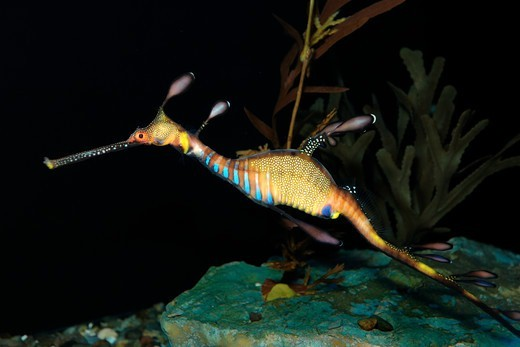 Stock Photo: 4414-1278 Weedy sea dragon (Phyllopteryx taeniolatus) in captivity