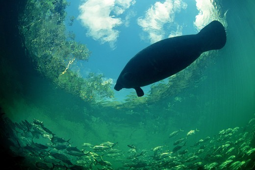 Stock Photo: 4414-1306 USA, Florida, Low angle view of West Indian Manatee (Trichechus manatus) swimming in Atlantic Ocean