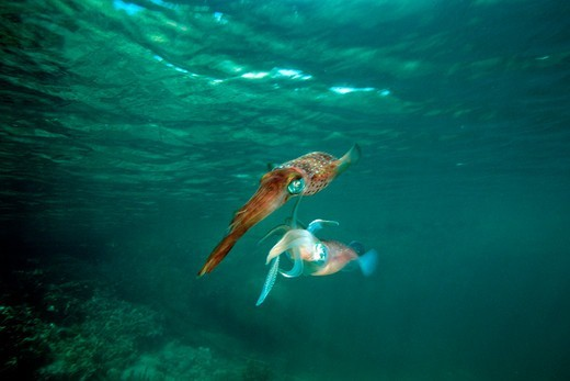 Stock Photo: 4414-1458 Venezuela, Atlantic Ocean, Caribbean reef squid (Sepioteuthis sepioidea) mating